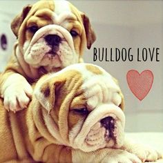 English Bulldog <3 ...  The dog I definitely want some day. #buldog
