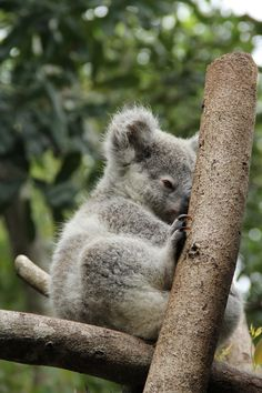 OK am I the only one who thinks this baby koala is judging me? Taken at Australia Zoo. Koala Marsupial, Quokka, Animals Of The World, Animals And Pets, Baby Koala, Koala Bears, Australia Animals, Creature Feature, Cute Funny Animals