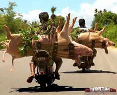 the pigs on the island of Numinunu sleep upright while being transported from home to home to be fed and worshiped as gods