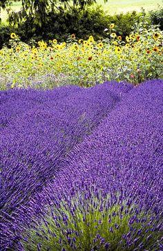 Sequim Washington lavendar festival in July