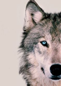 wolf - Google Search