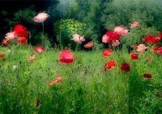Poppy Photo Card Floral Card Poppy Garden Blank Card by JudyStalus, $5.00