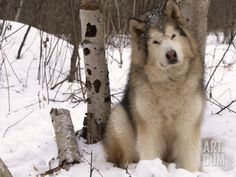 Wonderful All About The Siberian Husky Ideas. Prodigious All About The Siberian Husky Ideas. Giant Alaskan Malamute, Malamute Husky, Alaskan Husky, Siberian Husky Dog, Husky Puppy, Husky Mix, Husky Breeds, Dog Breeds, Akita