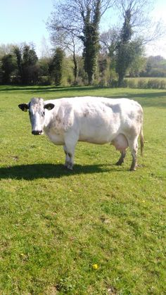 Whitie Pet cow