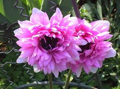 Google Image Result for http://www.shebay.co.za/Terry%2520Garden/Flowers/Anemones%2520Pink%2520Double%2520350.jpg