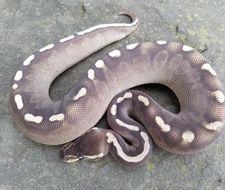 Blackpastel Lesser GHI Ball Python