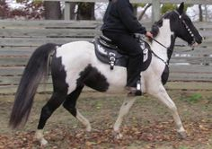 Picasso, Missouri Fox Trotter: Black and White Gelding  15.3 hh  #horses