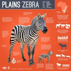 Did you know zebra foals can walk after only 20 minutes and run as soon as an hour following their birth? Learn more with @Patti Stamp Nature.