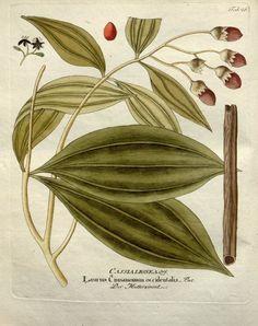 Cinnamon uses -Buy Bulk Cinnamon Drawing Stars, Leaf Drawing, Cassia Bark, Leaf Illustration, Batik Pattern, Plant Cuttings, Botanical Drawings, Leaf Art, Old Paper