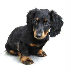 dachshund puppy breeders with long hair and big ears in black and spots of tan color. Black Dachshund, Dachshund Puppies, Dogs And Puppies, Weiner Dogs, Dachshunds, Love Bugs, Cute Animals, Long Hair Styles, Pets