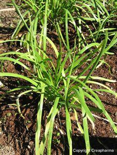 Alho Planta medicinal utilizada contra ateriosclerose e contra a hipertensão. colesterol alho