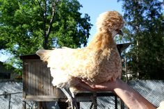 I've been thinking about chickens for a long time. I was really excited to see this post!!!
