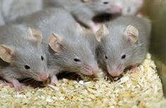 Pegylated enzyme helps in mice with urea cycle disorder - http://scienceblog.com/80451/pegylated-enzyme-helps-in-mice-with-urea-cycle-disorder/