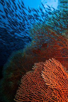 Coral Fans -