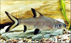 Balantiocheilus melanopterus  / haaivinbarbeel