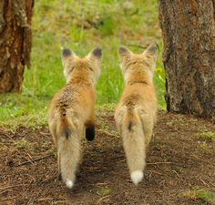 Two little foxes.