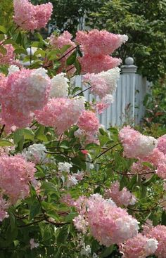 VANILLA STRAWBERRY HYDRANGEA - 1) Full Sun 2) 6-7 ft tall 3) Blooms in summer to fall 4) Prune back 1/3 in March 4) Somewhat deer resistant
