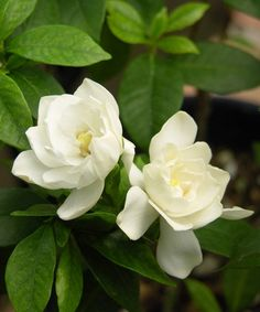 August Beauty Gardenia Shrub - Set of Two