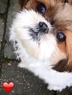 Love my Shih Tzu