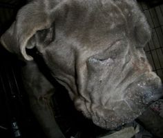 He's like Fang from Harry Potter! Wookie is an adoptable Neapolitan Mastiff Dog in Dublin, OH. Wookie is a purebred blue and white Neapolitan Mastiff. He was rescued from an Ohio puppy mill where he was kept outside 24/7 and forced to...