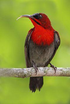 Crimson Sunbird Aethopygia siparaja