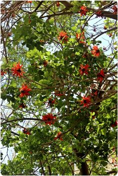 Coral tree in front of my home