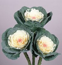 Kale:  Color Green,White.  Used in Bridal Bouquets also floral arrangements