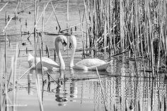 Swan Affections Monochrome By LeeAnn McLaneGoetz McLaneGoetzStudioLLC.com  Swan Reflections Lake Saint Clair Metro Park Michigan #swanqueen
