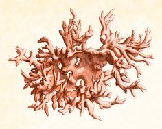 Corail en plaque rouge 4 histoire naturelle Art antique imprimer 8 x 10