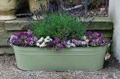 Lavender and alyssum (in a green tin tub)
