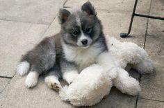 Pomsky puppy | Cute animals