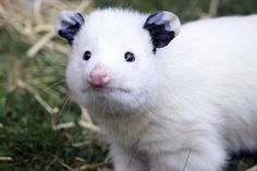 This is Daisy, a white opossum. Isn't she magnificent?