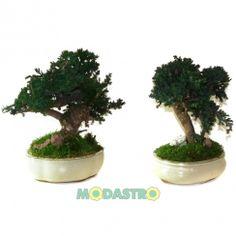 Juniper bonsai 25 cm - Stabiliseeritud bonsai - Pikaealised taimed - Modastro OU - Originaalsed Kingitused ja Kasulikud Kodukaubad. Jae- ja ...