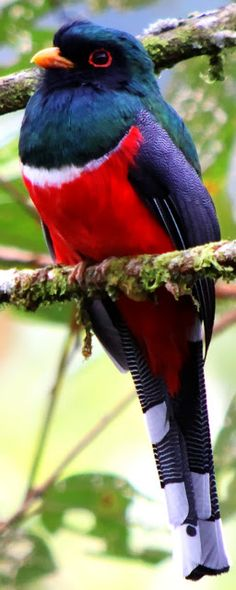 Masked Trogon (Trogon personatus) is a species of bird in the Trogonidae family…