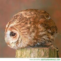 Baby Owls | Cutest Baby Owls Cute-animals-baby-owl-bird- ...