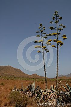 Photo taken near Gata Bay in Andalusia (Spain). The photo was taken in a bleak but fascinating. In the image, reminiscent of the landscapes of the American West, is seen in the foreground of Agadi two with the characteristic thin trunk towering into the blue sky. In the background you see some low mountains.