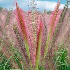 rosa pampasgras - frühjahrs-rabatt-aktion | blätter, gräser, Garten und erstellen