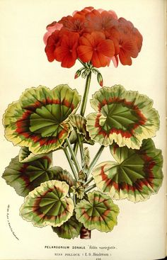 Pelargonium zonale ( commonly known as geranium) taken from Flore des serres et des jardins de l'Europe (1862-1865).  Louis van Houtte (1810–1876).  Scan of original book from Botanicus via Wikimedia