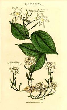 Antique print: picture of Simple-leaved Jasmine (Jasminum simplicifolium) and Ciliate-leaved Candytuft ( Iberis ciliata) -