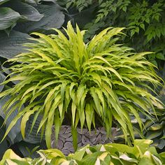 Name: Hosta 'Curly Fries' Growing Conditions: Shade, Partial shade Size: 6–8 inches tall, 12–16 inches wide Zones: 3–9 Source: Walters Gardens