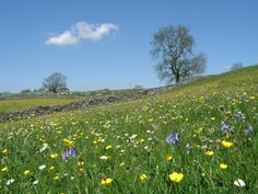 Hay Meadows at Lower Winskill- Beautiful pasture with wild flowers.