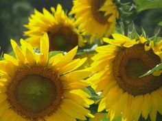 A day in the sun...flowers