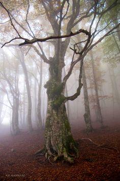 A shot of an european beech (Fagus silvatica) taken in a Pollino massif forest, South Italy.