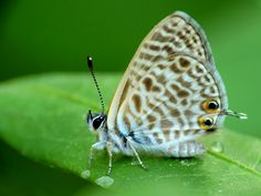 Leptotes pirithous is a small butterfly with a wingspan of 21–29 mm in males and 24–30 mm in females. (World Photography Day 2013 Entry 'Common Zebra Blue (Leptotes pirithous)')