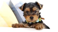 yorkie terrier | ... Yorkshire Terrier. Imágenes y Wallpapers de Perros Yorkshire Terrier