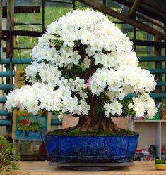 22 kinds Azalea Flower Seeds Rhododendron plant,Rare Bonsai DIY Garden Plants, Like Sakura Japanese Cherry Blooms Flowering Bonsai Tree, Bonsai Tree Types, Ikebana, Redwood Bonsai, Bonsai Azalea, Rhododendron Plant, Cherry Blooms, Plantas Bonsai, Indoor Bonsai