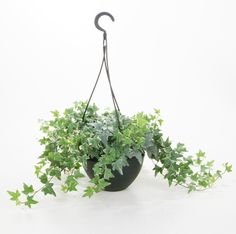 Hedera helix [English Ivy, Common Ivy, Ivy].  A good air purifier and great for hanging plants!!!