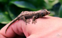 This baby chahoua gecko (Rhacodactylus chahoua) was bred and raised here at our store, Fauna NYC. We have a pair living in a large terrarium in our reptile room. Chahouas are a very attractive and well camouflaged reptile that are hardy and very personable. This little guy will grow about 5-6 inches from his snout to the vent.