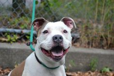 ANGEL - A1046783 - - Staten Island TO BE DESTROUYED 08/17/15 ** FRIENDLY PITTY ** Strays arrive daily at the ACC of NYC, appearing at the intake desk without a history, but Angel graced their threshhold. A beautiful brown and white, three year old that caught the attention of all. Sweet and in need of help, Angel's prayers were answered for a period of time. The trouble is help is short term and Angel is on the list to be destroyed tomorrow. She is fifty four pounds