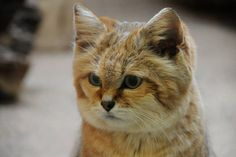 *ISRAEL~SAND CAT's:  can grow quickly, reaching nearly adult size within five months of birth.